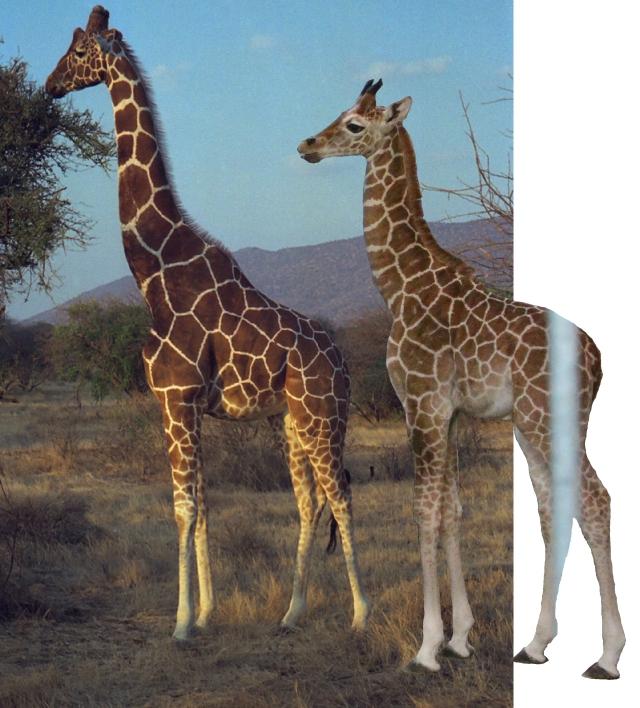 giraffe_comp_2