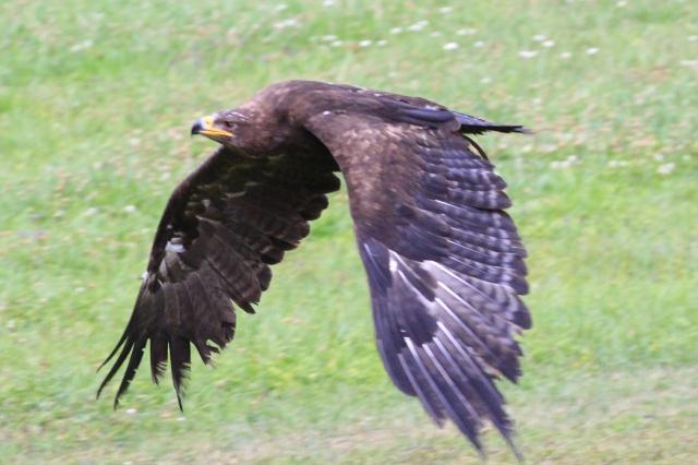 falcon_13